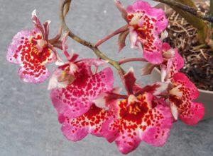 Orchidea Kiállítás Magyar Orchidea Társaság