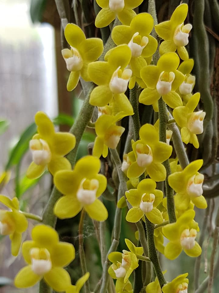 We operate this website  www.orchideatasasag.hu and we also have a page on Facebook, where we notify the general public about the events of the Hungarian Orchid Society, and where we try to recruit further members.