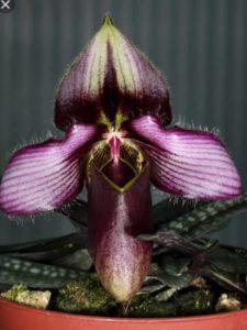 Paphiopedilum rungsuryanum