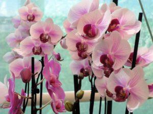 Phalaenopsis az Ocean Orchids kertészetben